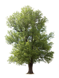 CD-old-tree-1-200