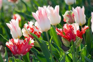 janet-tulips-11-300
