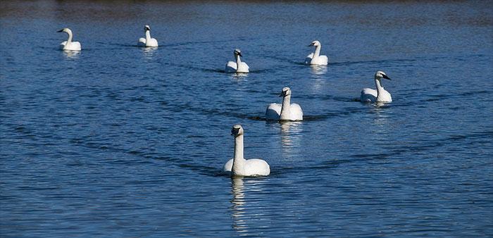 Trumpeter swans return home