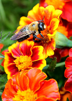F2-Pollinator-BeeOnMarigold-Apr-16-0pt