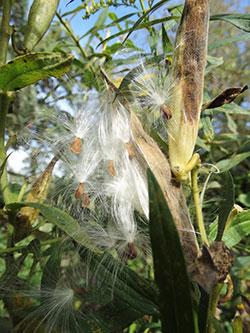 F2-Pollinator-MilkweedSeeds-Apr-16-opt