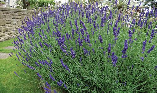 GJ-Herbs-lavender-Apr-16-opt