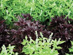 GJ-herbs-basil2-Apr-16-opt