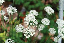 GJ-herbs-garlic-chives-Apr-16-opt