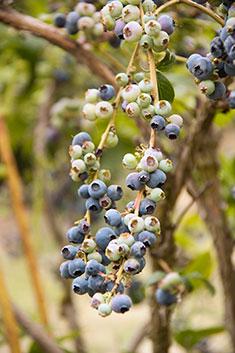 F1-pallensmith-blueberries-June-16