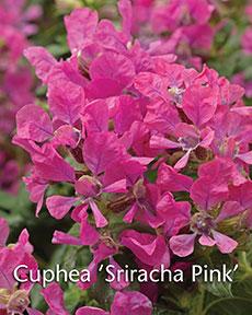 GJ--cuphea-sriacha-pink-May-16