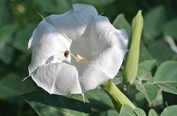 GJ-moonflower-datura-with-bee-June-16