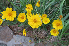 GJ-coreopsis-July-16