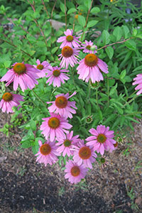 Six wildflowers for carefree color | Arkansas Living Magazine