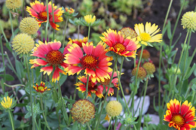 gj-gaillardia-oct-16