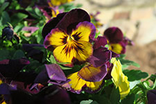 gj-pansies-dec-16-1