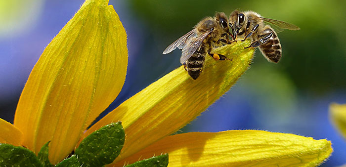 Be bee-friendly – plan your garden to attract bees
