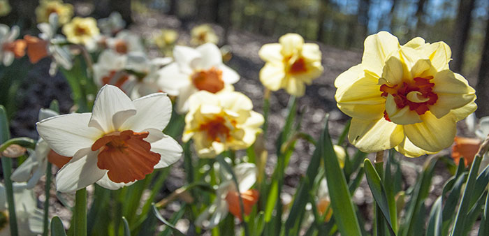 Festivals of Flowers – Daffodils signal spring is here!
