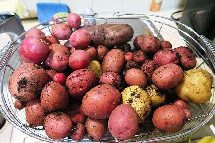 Potato planting primer   Arkansas Living Magazine