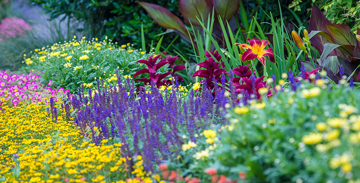 Salvias: Workhorses Of The Garden